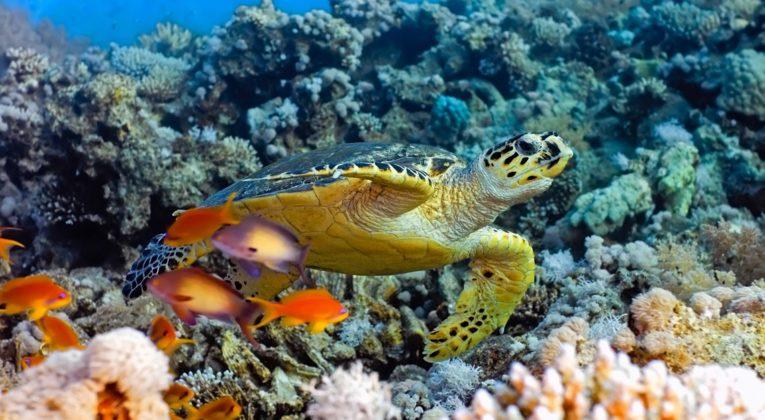 Bali Skildpadde